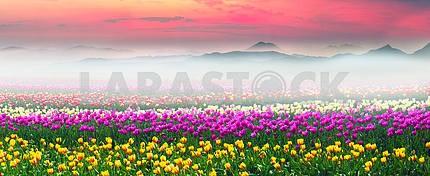 Field of tulips in the fog