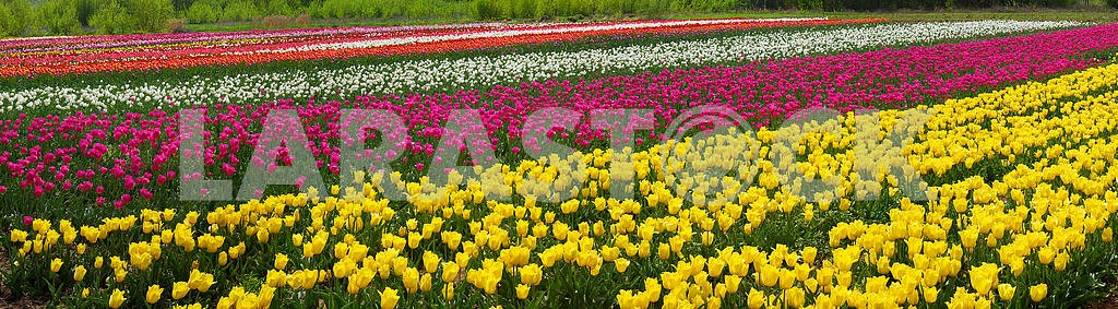 Tulips - spring flowers
