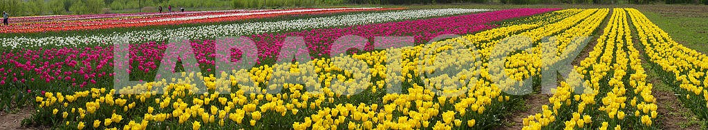 Collectors tulips collect beautiful flowers  — Image 14500