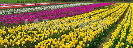 Flowering time beautiful garden flowers tulips