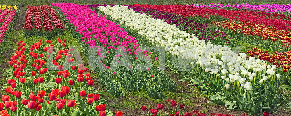 Tulips - spring flowers