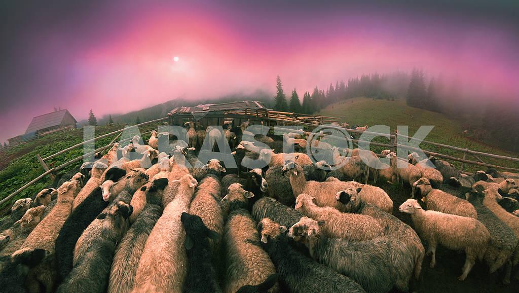 Dawn in the Alps herding — Image 14546