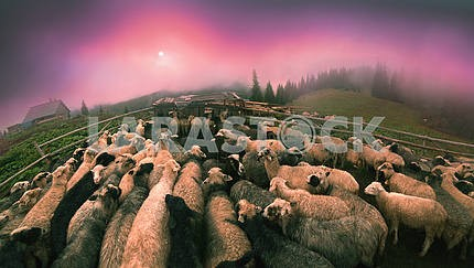 Dawn in the Alps herding