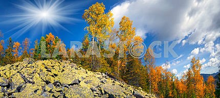 Birch trees on the rocks
