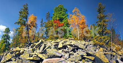 Birch trees on the rocks
