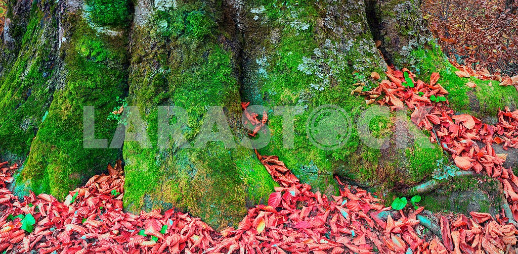 roots of the beech in autumn
