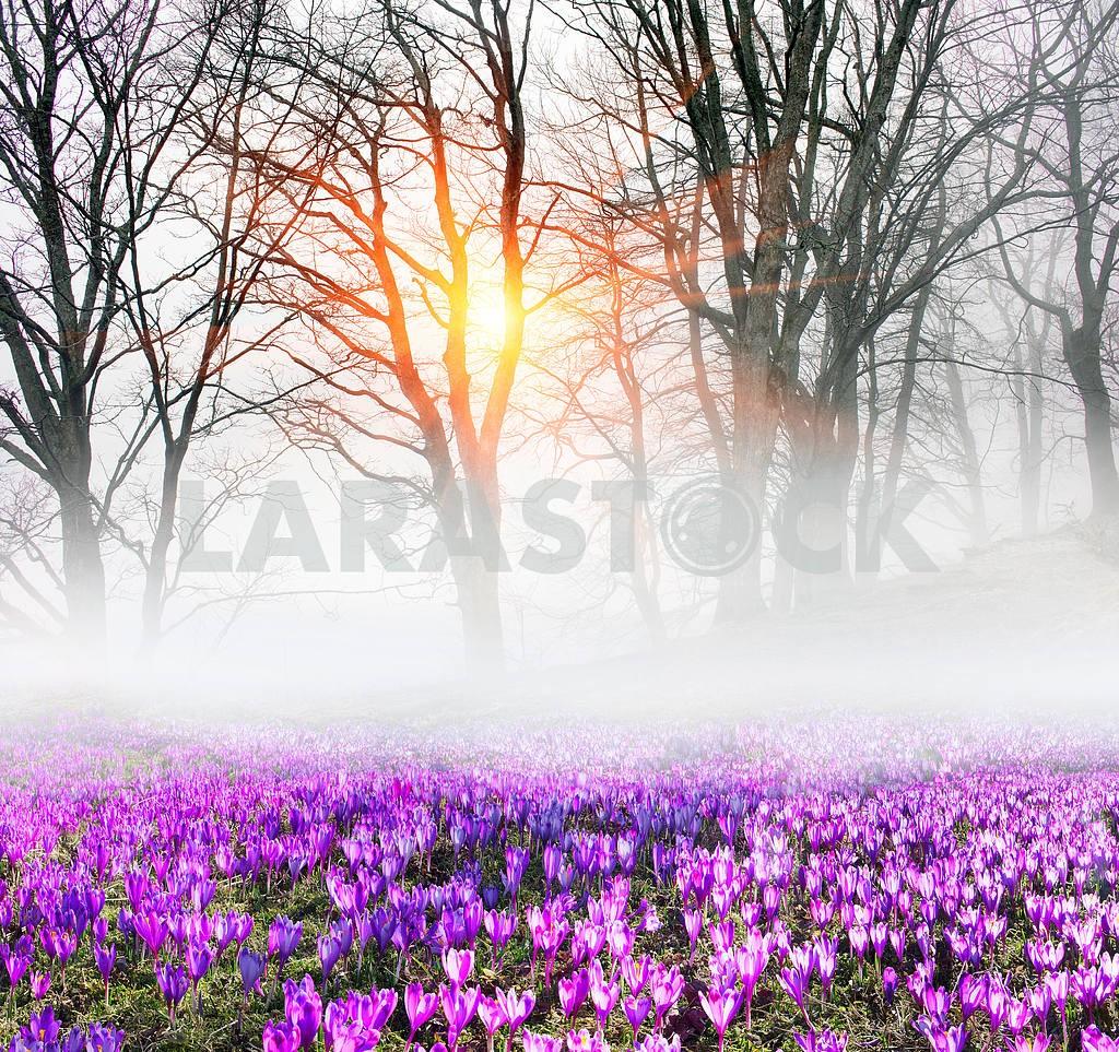 Saffron in the fog — Image 14858
