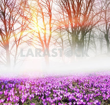 Crocuses in the fog