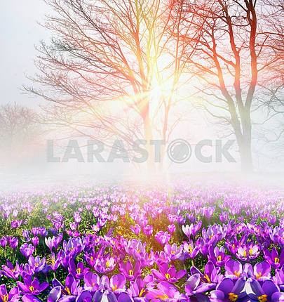 Saffron in the fog