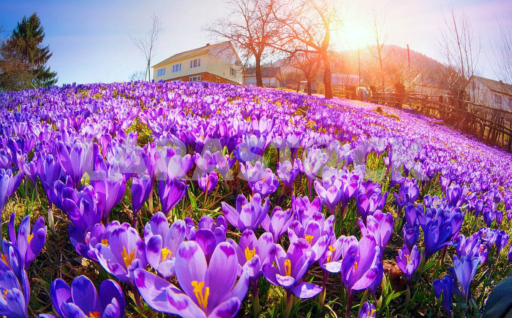 Fantastic flowers - crocus — Image 14892