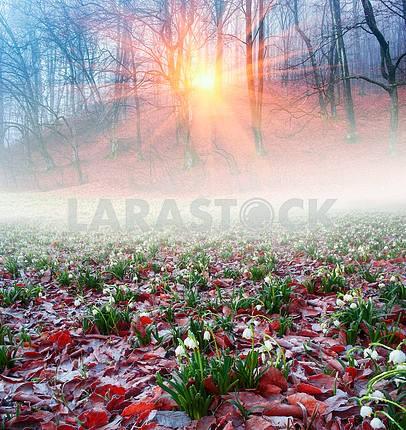 beautiful snowdrop