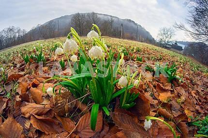 Подснежники - весенние цветы