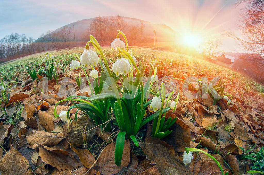 Snowdrops - spring flowers — Image 15082