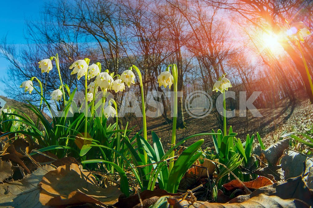 Snowdrops - spring flowers — Image 15097