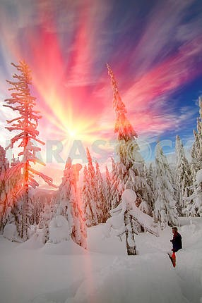 Snow in the beautiful wild fir forest