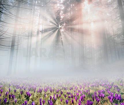Solar flower- crocuses