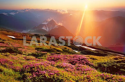 Rhododendrons, beautiful alpine flowers