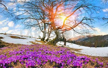 Saffron Geyfelya