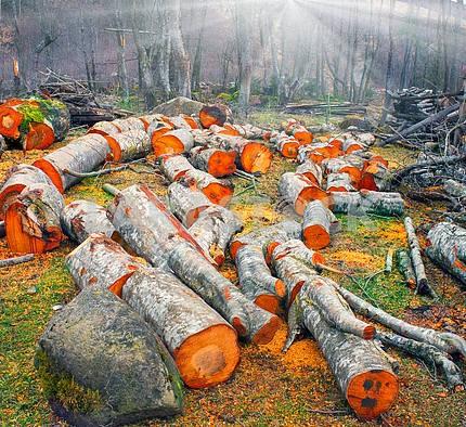 Picturesque alder wood