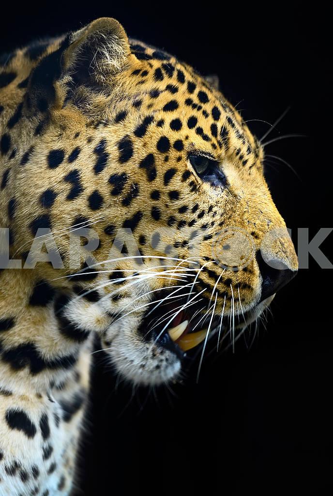 Leopard — Image 1538
