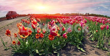 Flowering time beautiful garden flowers tulips