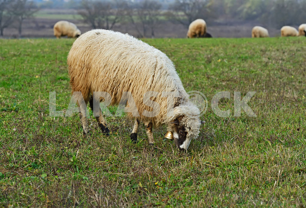 Herd of sheep on a mountain pasture — Image 1560