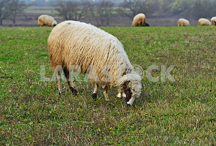 Herd of sheep on a mountain pasture
