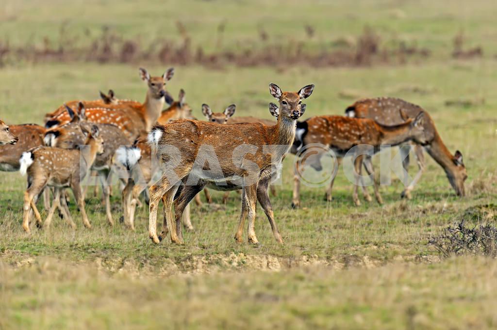 Spotted deer — Image 1566