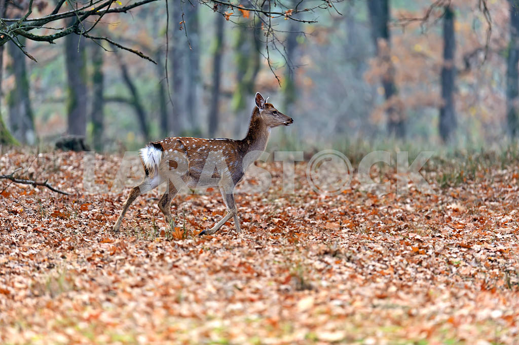 Spotted deer — Image 1567