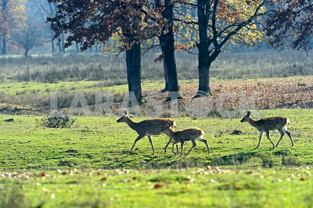 Spotted deer — Image 1570
