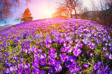 Fantastic flowers - crocus