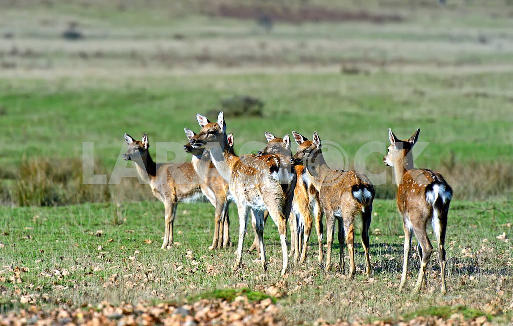 Spotted deer — Image 1571