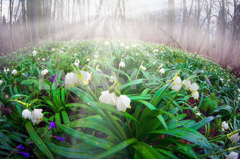 Snowdrops - spring flowers  — Image 15804