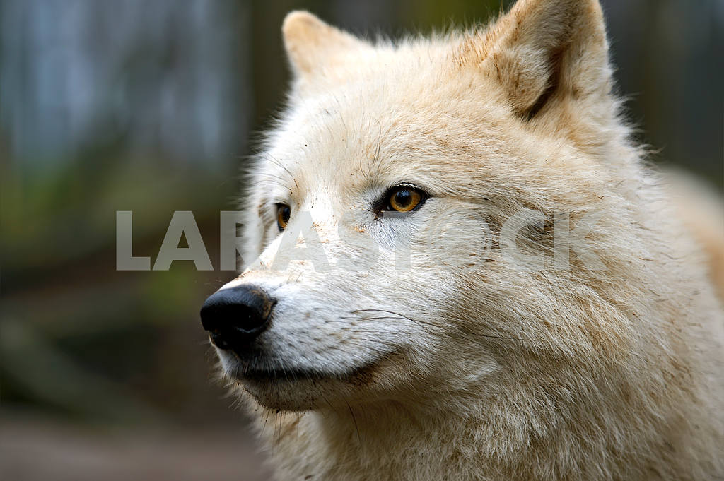 Portrait of a Polar Wolf — Image 1583