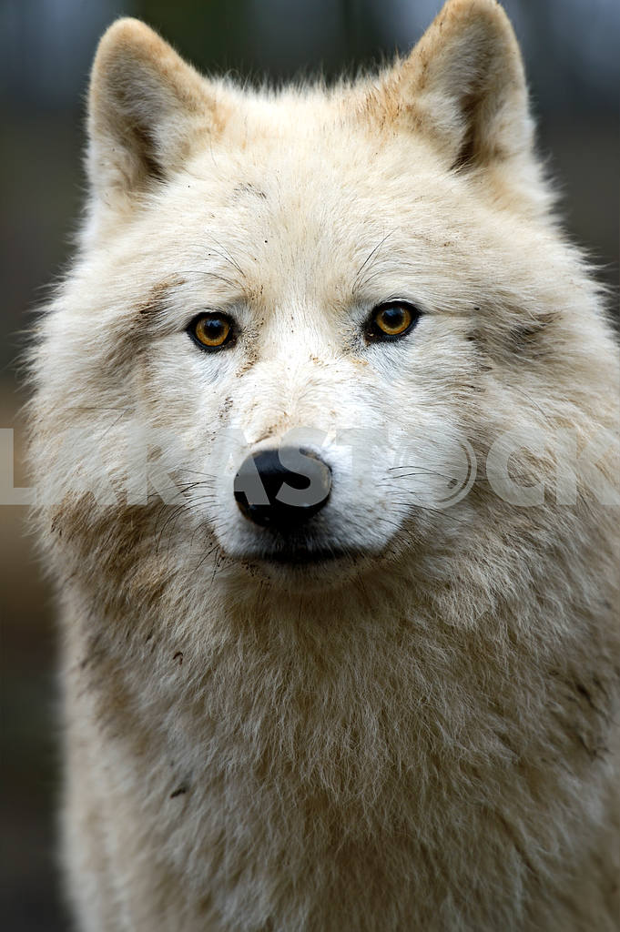 Portrait of a Polar Wolf — Image 1584
