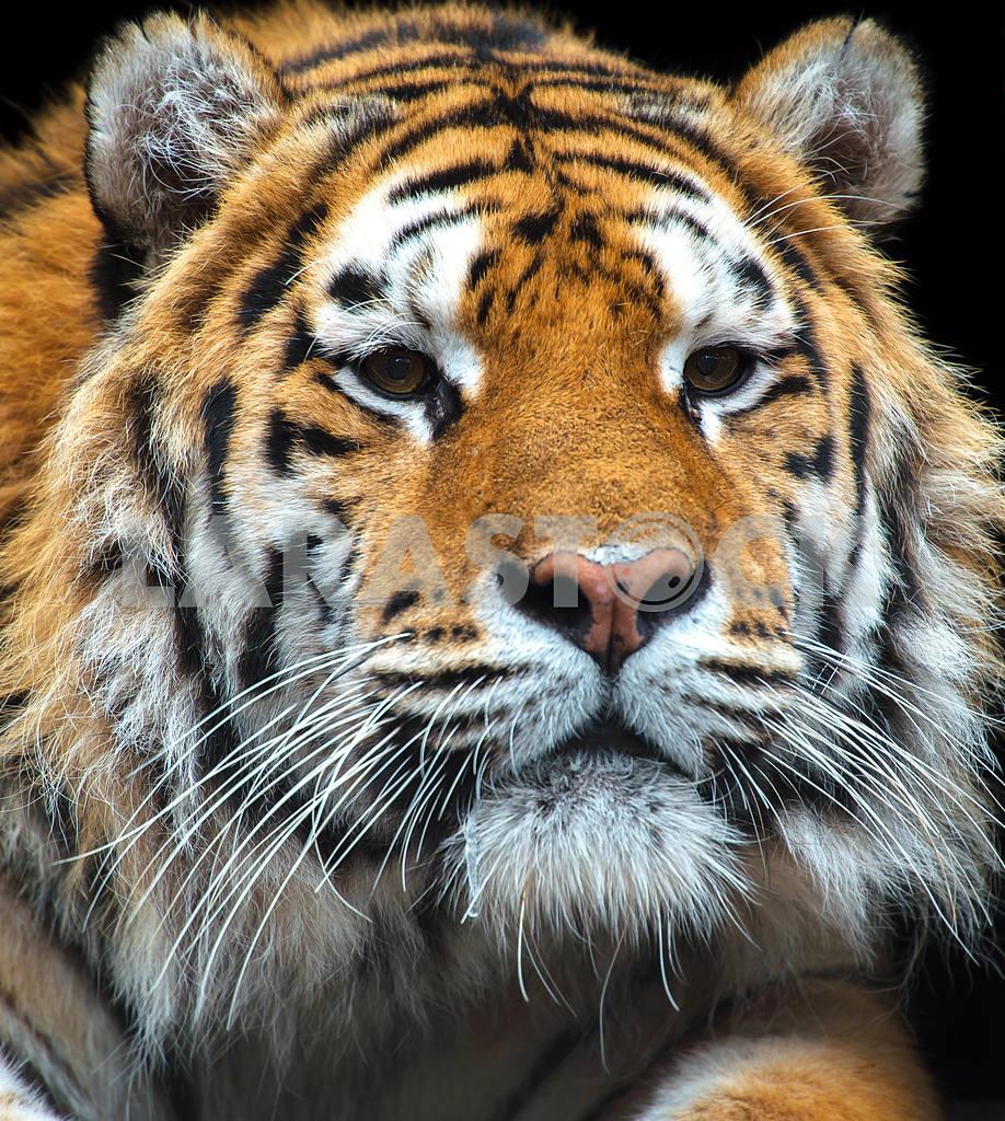 Tiger — Image 1585