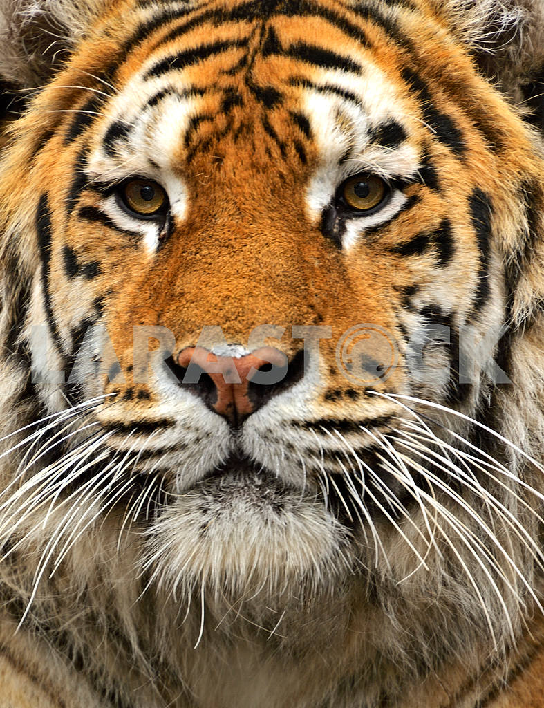 Portrait of the Amur Tiger — Image 1586