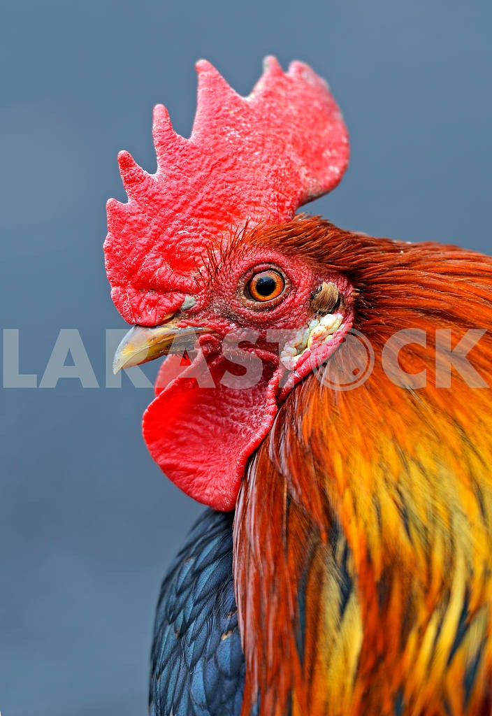 Portrait pet rooster on the farm — Image 1589