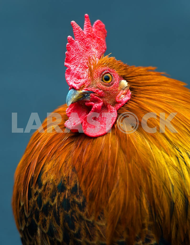 Rooster — Image 1590