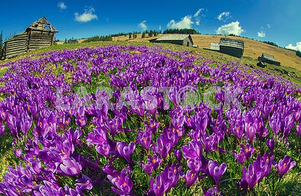 Magic carpet spring crocuses