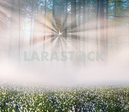 Нарцисс на рассвете
