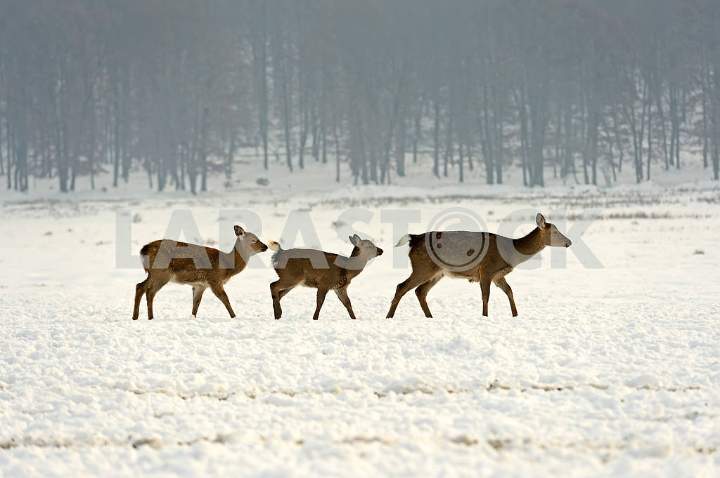 A herd of spotted deer in winter — Image 1600
