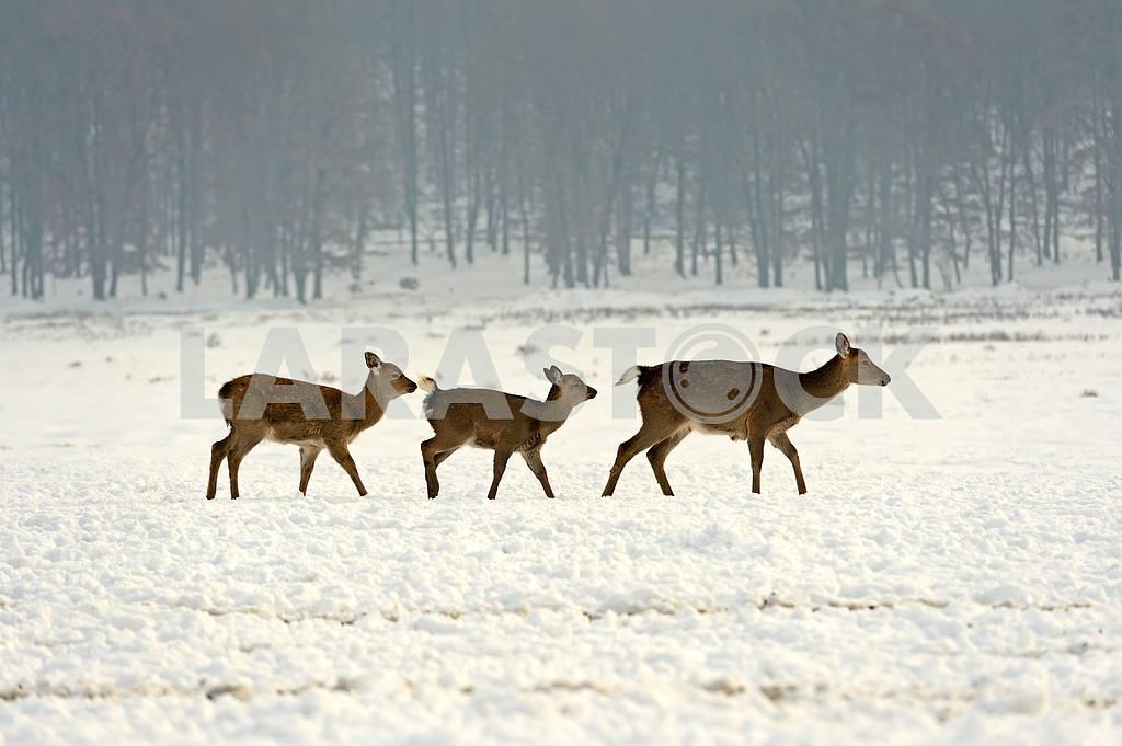 Стадо пятнистых оленей в зимнее время — Изображение 1600