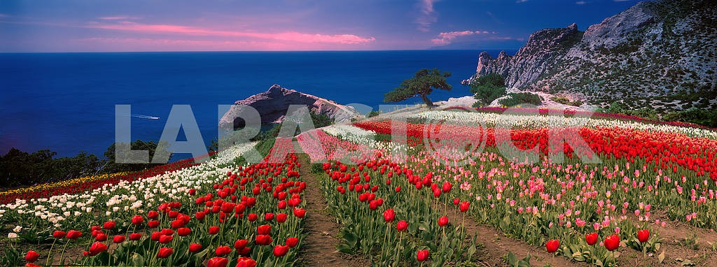 Sunrises and sunsets with tulips in the Crimea — Image 16005