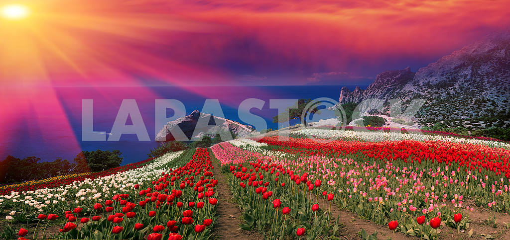 Sunrises and sunsets with tulips in the Crimea