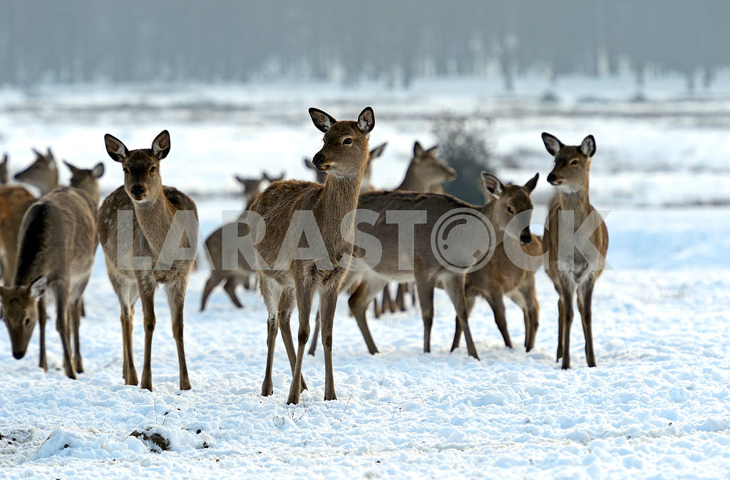 A herd of spotted deer in winter — Image 1602