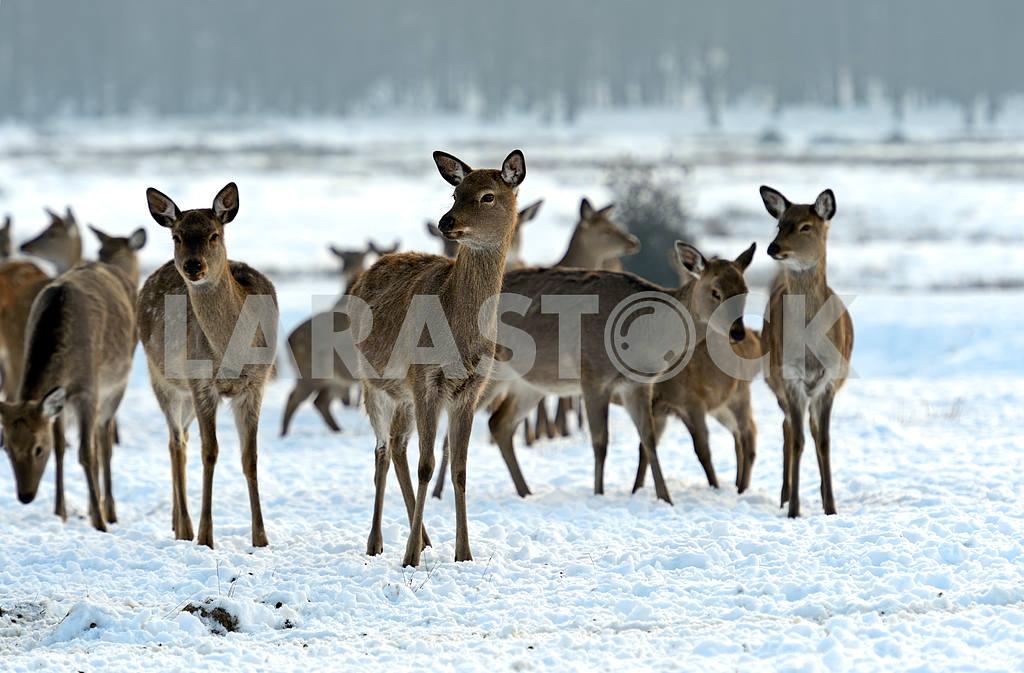 Стадо пятнистых оленей в зимнее время — Изображение 1602