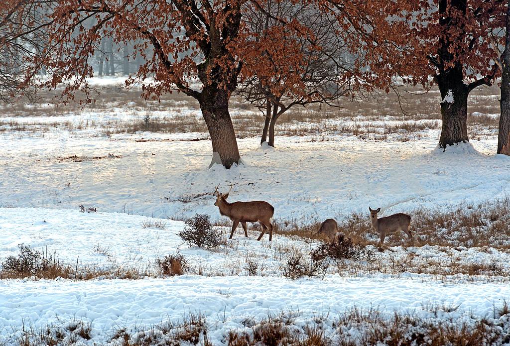 Стадо пятнистых оленей в зимнее время — Изображение 1603