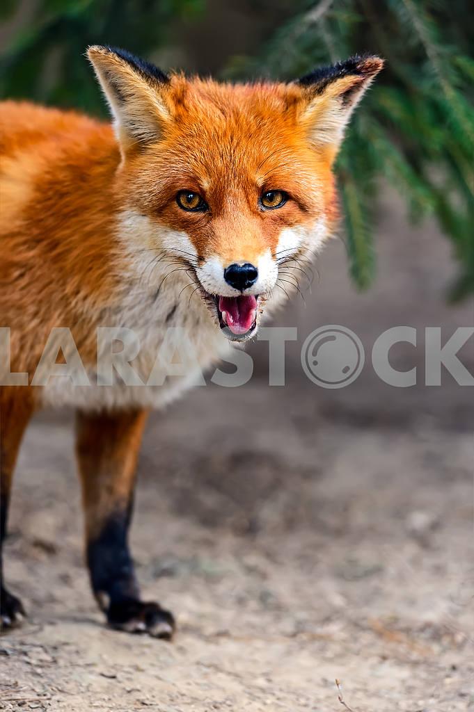 Fox portrait in natural habitat — Image 1606