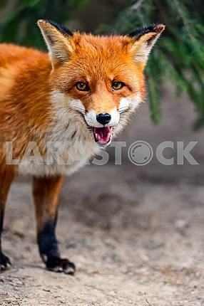 Fox portrait in natural habitat